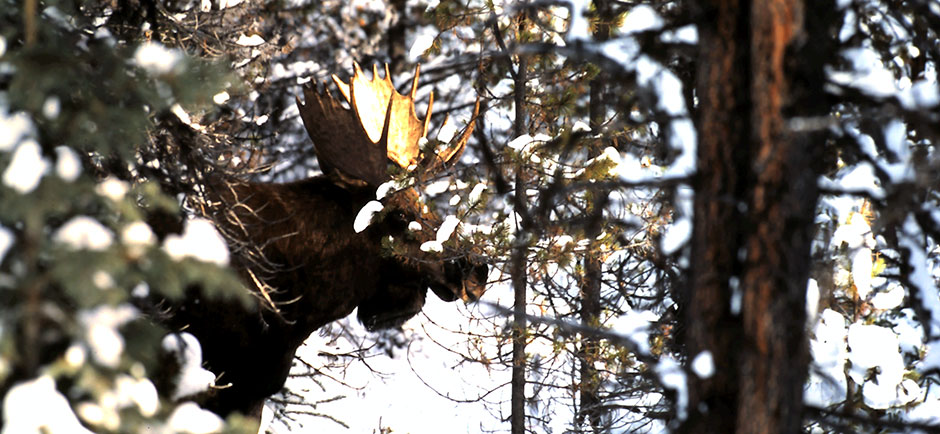 Willmore Wilderness Moose
